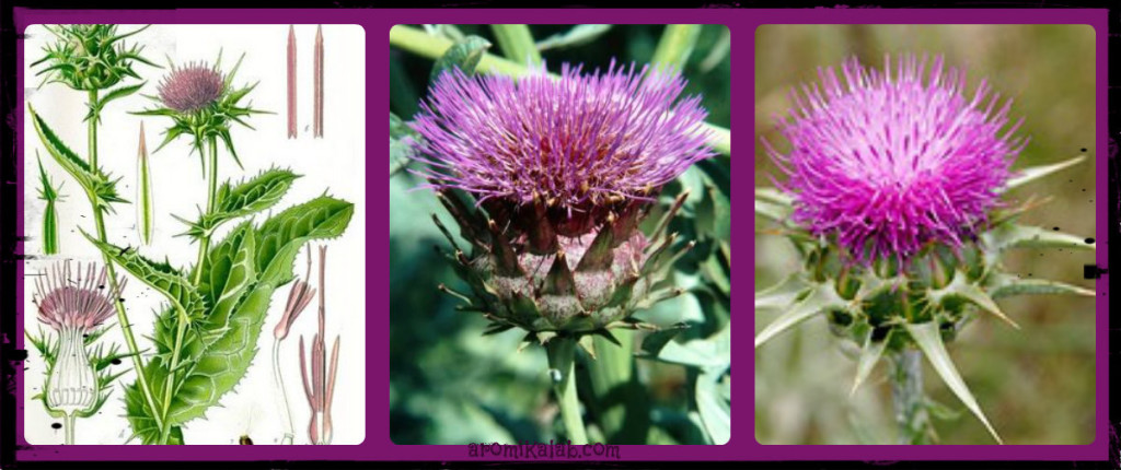 collage milk thistle