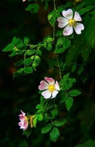 rosehip1